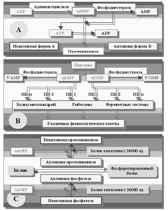 А – блок-схема регуляторной