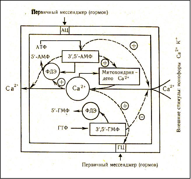 же систему внутрь клетки88